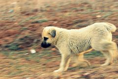 Walking puppy Royalty Free Stock Photo