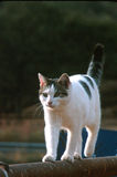 Walking the rail. White and grey cat on pipe fence walking the fence with no problem royalty free stock image