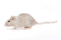 Walking rat Stock Photo