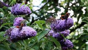 Walking Red Admiral butterflies over pink Buddleja flower stock video