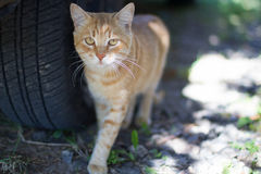 Walking red cat. Adult cat near the car's wheel. Stock Image
