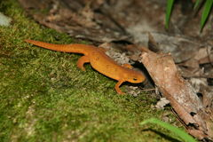 Walking Red eft. Red eft (Notophthalmus viridescens) walking on moss royalty free stock photo