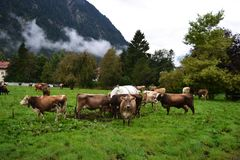 Walking red-haired cows in a meadow against a background of moun stock photo
