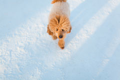 Walking red miniature poodle Stock Images