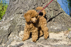 Walking red poodle puppy. The red miniature poodle puppy on a leash Royalty Free Stock Images