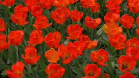 Walking among red tulips. Steadicam shot of walking in the field of red tulips, wind swinging the flowers stock video footage