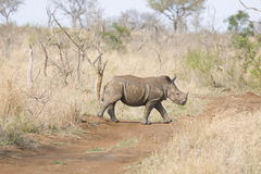 Walking rhino Stock Photos