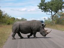Walking rhino. Rhinoceros crossing the road in Krueger national park South Africa Stock Photography