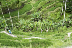 Walking in rice terraces, Bali Stock Image