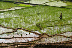 Walking through the ricefield Royalty Free Stock Photos