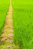 Walking Road on Green Farm. Waking road on thai green farm ,thailand Stock Image