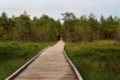 Walking road made of wooden planks in the deep bog-forest. Stock Photography