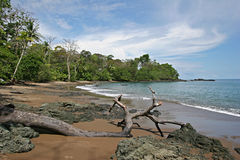 Walking on the rocky beach. Unspoiled, wild and calm rocky beach on the Pacific coast of Costa-Rica with a dead tree in the foreground and the rainforest in the Royalty Free Stock Images