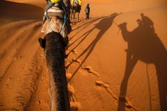 Walking the Sahara dunes. A bounch of tourists riding their camels while moving throught the Sahara desert, in the moroccn side of it stock photo