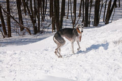 Walking saluki Stock Image