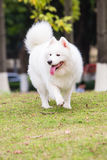A walking Samoyed Royalty Free Stock Image