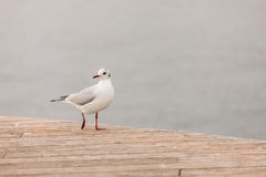 Walking seagull. A seagull walking on the dock Stock Photos