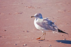 Walking Seagull royalty free stock photo