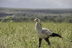 Walking Secretary Bird Sagittarius serpentarius Stock Photography