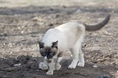 Walking siamese cat Stock Image