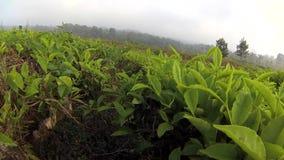 Walking slowly in vast tea gardens at the morning stock video