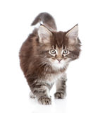 Walking small maine coon cat. isolated on white background Royalty Free Stock Images