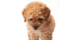 Walking small puppy poodle Royalty Free Stock Photos