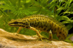 Walking smooth newt Royalty Free Stock Images