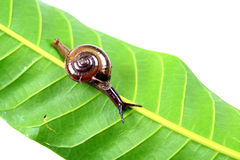Walking snail Stock Photo