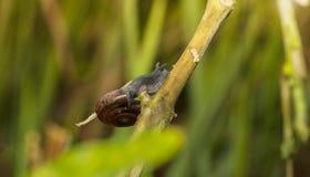 Walking snail royalty free stock image