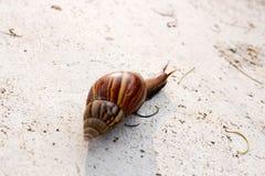 The Walking Snail Royalty Free Stock Photo