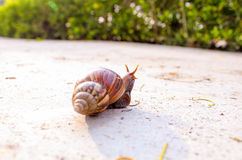 The Walking Snail Royalty Free Stock Photography