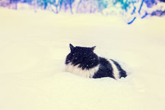 Сat walking in snow. Black and white cat walking in the deep snow Royalty Free Stock Image