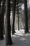 Walking in the snow covered pine forest. Light filtering  through the snow covered pine forest Stock Photo