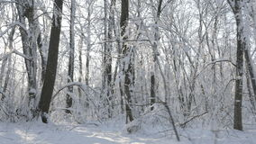 Walking through the snow covered trees in a winter forest stock video footage