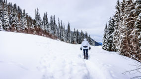 Walking through the Snow in the Shuswap Highlands. Walking through the Snow at the Sun Peaks Ski Resort in the Shuswap Highlands among the snow covered pine royalty free stock photos