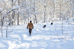 Walking the snowy trail. A man and his dogs on a winter walk on a deeply snow covered forest trail Royalty Free Stock Image