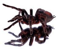 Walking spider Royalty Free Stock Photography