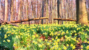Walking in the spring forest covered by yellow daffodils stock video