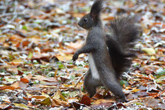 Walking Squirrel Stock Photos