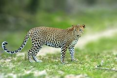 Walking Sri Lankan leopard, Big spotted wild cat lying in the na. Ture habitat, Yala national park, Sri Lanka. Widlife scene from nature. Leopard in green Royalty Free Stock Photo