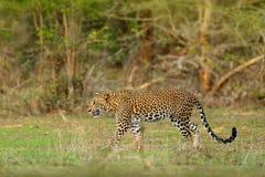 Walking Sri Lankan leopard, Panthera pardus kotiya, Big spotted wild cat lying on the tree in the nature habitat, Yala national pa royalty free stock photo