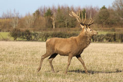 Walking Stag. A magnificent young adult stag walking in a field Stock Photo
