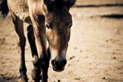 Walking stallion. A portrait of walking stallion. Toned image Stock Photos