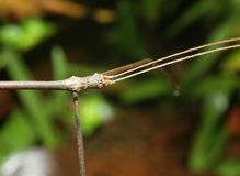 Walking stick. Insect close up Stock Photography