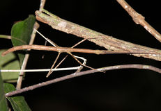 Walking Stick. Stick Insect/Walking Stick Taman Negara, Malaysia Stock Photography