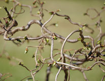 Walking Stick Buds in the Afternoon Light Stock Photos