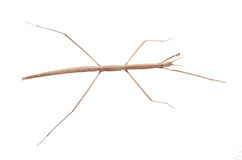 Walking stick bug Stock Photo