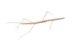 Walking stick bug Royalty Free Stock Photography