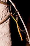 Walking Stick Insect. A portrait of female walking stick royalty free stock photos
